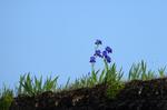Kleine Iris auf Reetdach © Rena Hackl fotografiert 2018